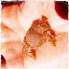Furry crab