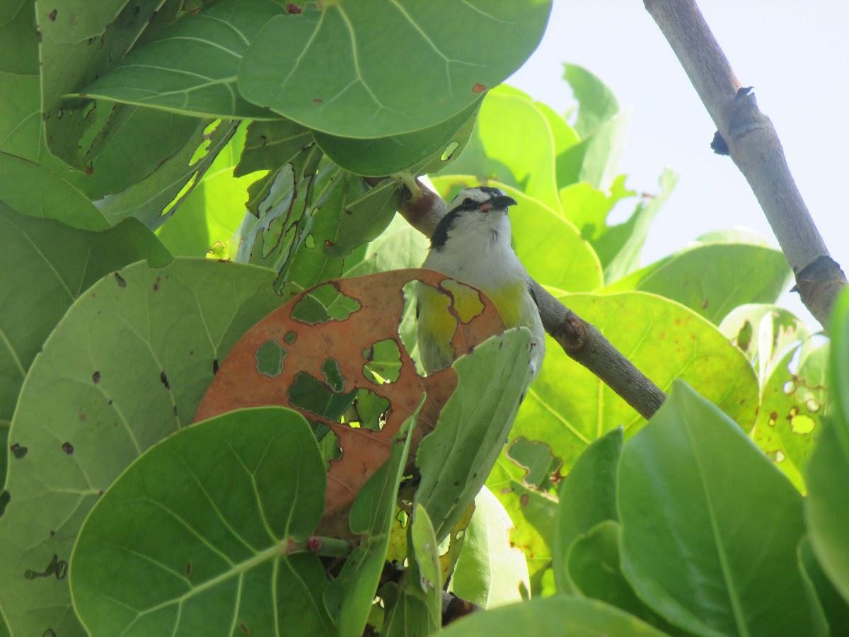 Bananaquit