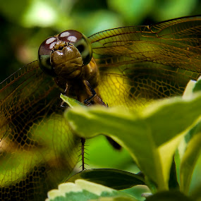 Flying Soldier by Ismail Rali - Animals Insects & Spiders ( animals, macro, flora, dargonfly, insect )