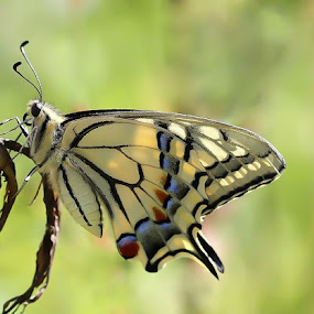 swallowtail by Anže Papler - Animals Insects & Spiders
