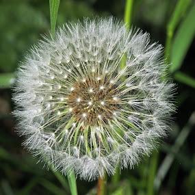 Dandelion Seed Head by Tony Murtagh - Nature Up Close Other plants ( macro, dandelion, flora, flowers, seedhead,  )