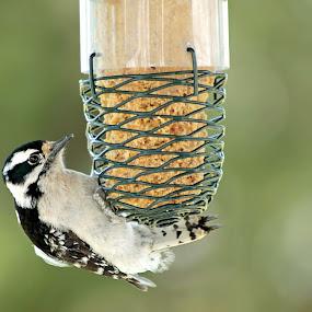 Female Downy Woodpecker by Miranda Powers - Animals Birds ( bird, birdfeeder, woodpecker, spring,  )
