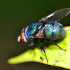 Blue Bottle Fly  / blow-fly