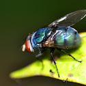 Blue Bottle Fly  / blow-fly