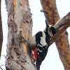 Great Spotted Woodpecker, pico picapinos