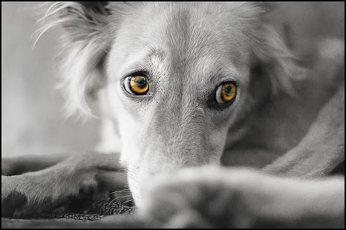 My Angel - My Pari by Maulik Pankhanya - Animals - Dogs Portraits ( puppy.love.killer eyes, dog, maulik, photography, animal love, maxthebest685, animal, , #GARYFONGPETS, #SHOWUSYOURPETS )
