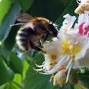 Shrill carder-bee (Čmrlj)