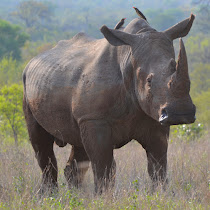 Rhinos of The World