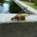 Weaver Ant Queen