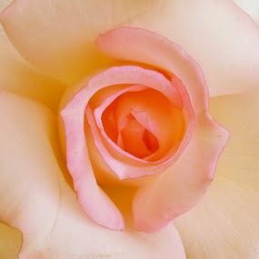 Rose. by Nena Guzmán - Flowers Single Flower ( love, rose, pink, romance, flower )