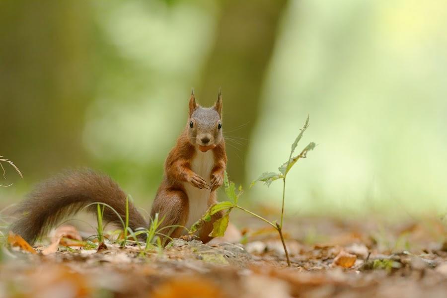 dans la bouche by Cédric Guere - Animals Other ( wild, red, nature, wildlife, squirrel, animal )