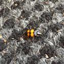 Banded sexton beetle