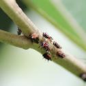 Membracid Planthopper (nymphs)