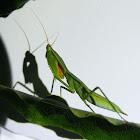Garden Praying Mantis