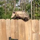Virginai Opossum