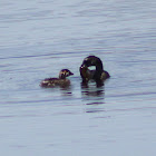 Pied-billed Grebe (with chick)
