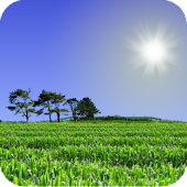 Cornfield Live Wallpaper
