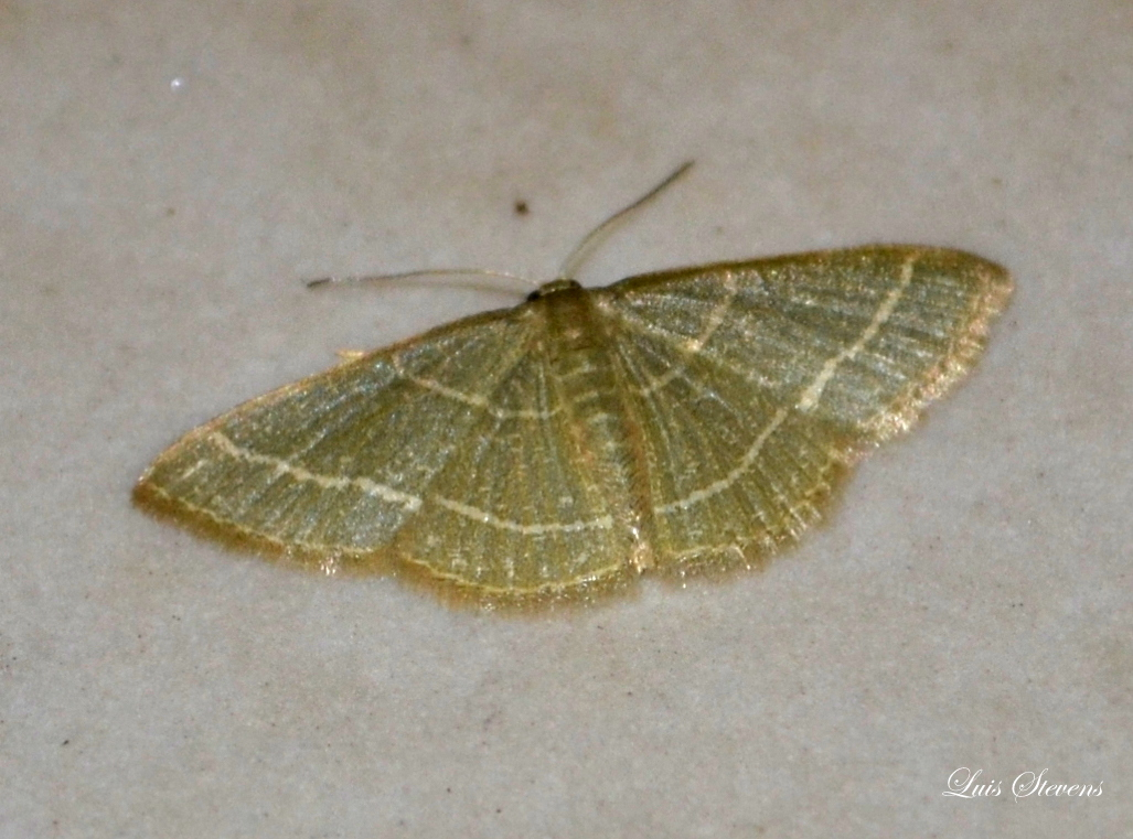 Nemoria leptalea