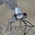 Ohio Dragonflies and Damselflies
