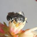 Italian Bee?