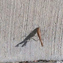 European Mantis, female