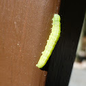 Cabbage Looper Caterpillar