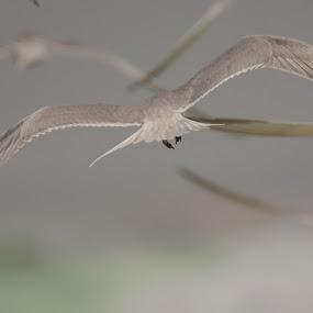 Fly away by Ailsa Burns - Animals Birds ( bird, tern, birds, photography, gulls, fly, flight )