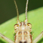 Winged Bush Cricket, female