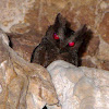 Luzon Lowland Scops Owl