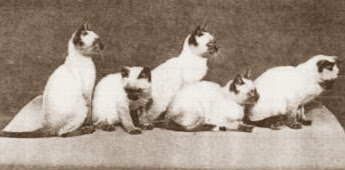 Traditional or Classic Siames cats - Siamese cat history