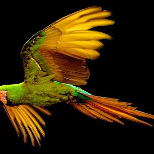 IMG_0338 Parrot - Version 2.jpg