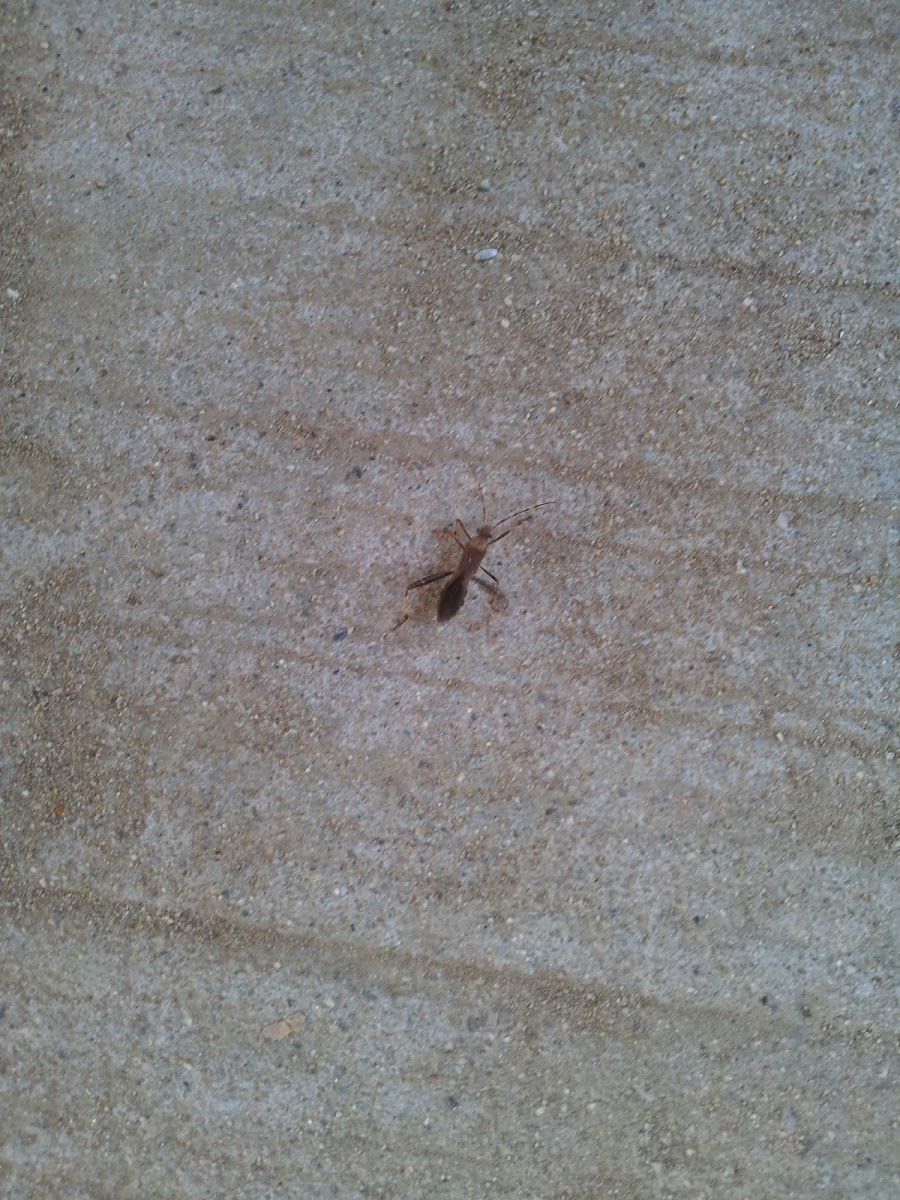 ant like bug