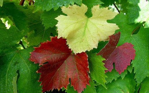 Leaf Jigsaw Puzzles