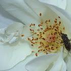 Flower Cab Spider