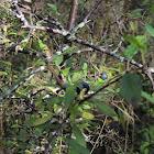 Blackthorn/Sloe