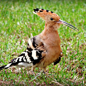 Hoopoe 50 by Tamsin Carlisle - Animals Birds ( lawn, cinnamon, grass, white, bars, hoopoe, bird, upupa epops, dubai, pink, crest, garden, black,  )