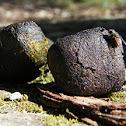 Wombat Poo