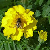 Hover fly or flower fly