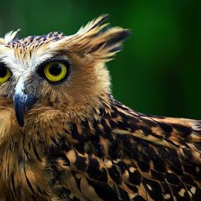 Owl by Fammz Fammudin - Animals Birds ( bird, animal,  )