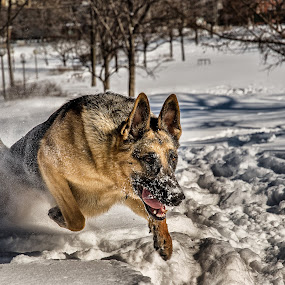 by Clermont Poliquin - Animals - Dogs Playing