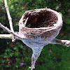 Grey fantail nest