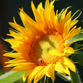 Busy Bee by Sherri Woodbridge - Flowers Single Flower ( sunflowers, plants, gardens, sunshine, yellow, flowers, sun, , Hope )
