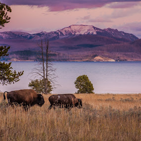 Bison Evening by Craig Pifer - Animals Other Mammals ( animals, yellowstone, mountain, park, nature, bison, sunset, pink, lake, landscape )