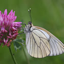 Black-veined White or Baumweissling