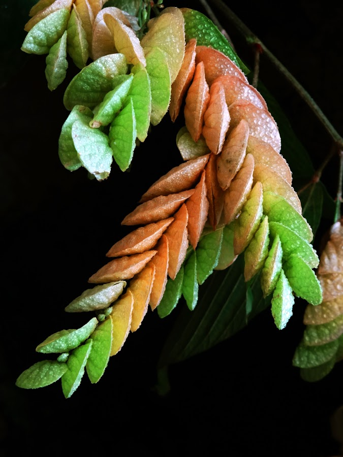 Flamengia2 by Asif Bora - Nature Up Close Leaves & Grasses (  )