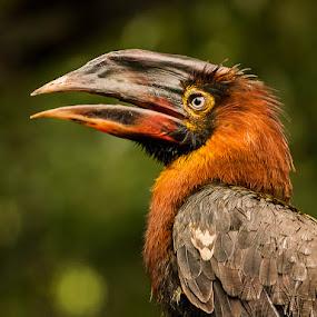 Hornbill by Leyon Albeza - Animals Birds ( fowl, fauna, birds,  )
