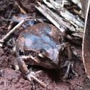 Pobblebonk or banjo frog