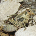 Huge grasshoppers