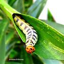 Leaf roller moth caterpillar