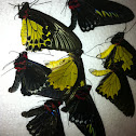 Assorted birdwing butterflies